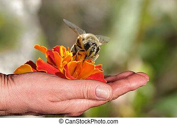 オレンジの花, 手, 蜂