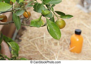 オレンジジュース, 果樹