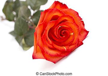 オレンジローズ, 白い赤, 背景