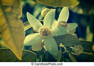 オレンジ花, 花, 中に, 地中海, 木