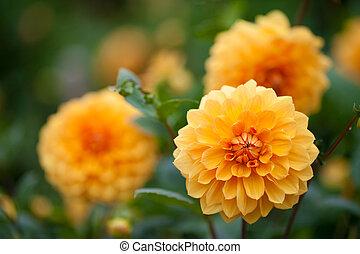 オレンジ, ダリア, 花, 庭, 黄色