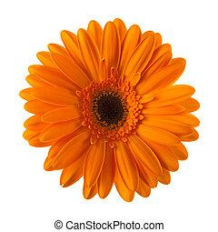 オレンジ, デイジー, 隔離された, 花