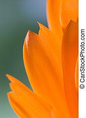 オレンジ, 花弁, flower(calendula), マクロ