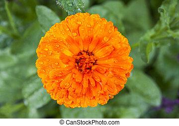 オレンジ, calendula