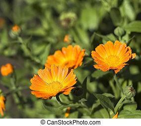 オレンジ, calendula, フィールド