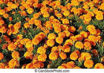 オレンジ, calendula, ブッシュ, 花
