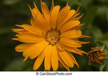 オレンジ, calendula, 花