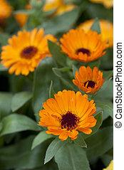 オレンジ, calendula officinalis