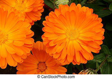 オレンジ, calendula, officinalis.