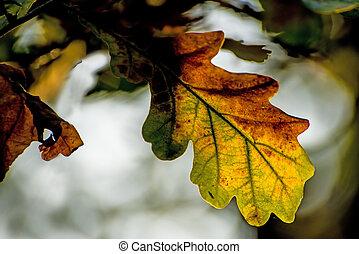 オーク, ライト, 葉, 背中
