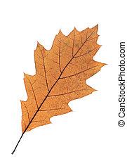 オーク, 白, 葉, 隔離された, 背景