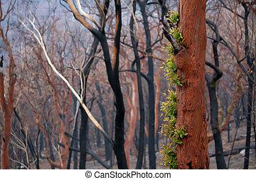 オーストラリア, 後で, 葉, ブッシュ, 火, 新しい, 木, 芽を出す