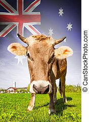 オーストラリア, 牛, シリーズ, -, 旗, 背景