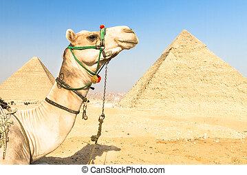 カイロ, pyramides, らくだ, egypt., ギザ