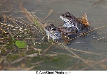 カエル, 春