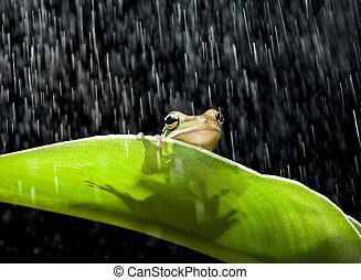 カエル, 雨