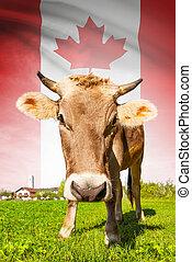 カナダ, 牛, シリーズ, -, 旗, 背景