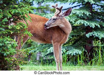 カナダ, banff, 鹿, 国立公園, whitetail, アルバータ