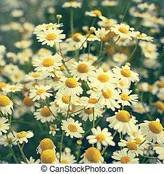 カモミール, 花, 中に, retro 様式