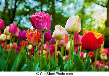 カラフルである, チューリップ, 花, 中に, 春, 公園