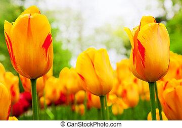 カラフルである, チューリップ, 花, 中に, 春