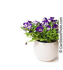 カラフルである, パンジー, 花, 植物, 中に, 白, ポット, 隔離された