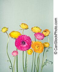 カラフルである, ranunculus, 花, 上に, 型, 背景