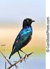 カラフルな鳥, superb