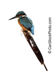 カワセミ, alcedo, atthis, 単一, 鳥, 上に, 凍りつくほどである, とまり木, midlands,...
