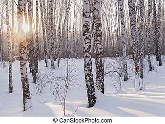 カンバの木, 森林, 冬