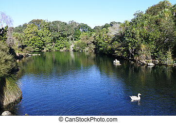 ガチョウ, ばね, 水泳, オークランド, 公園, zealand, 西部, 新しい, 白