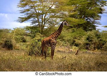キリン, アフリカ