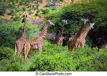 キリン, アフリカ, 西, サバンナ, サファリ,  tsavo,  kenya