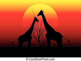 キリン, 中に, アフリカ, そして, 日没