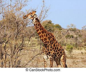 キリン, 中に, アフリカ