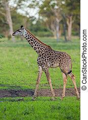 キリン, 中に, サファリ, アフリカ, ザンビア