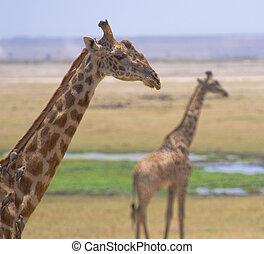 キリン, 中に, amboseli 国立公園, kenya