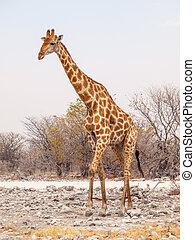 キリン, 入って来なさい, etosha の 国立公園, ナミビア, アフリカ。