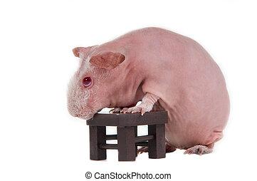 ギニー, はげ, テーブル, 豚