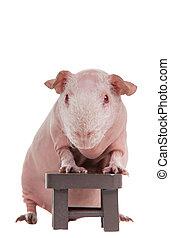 ギニー, 椅子, はげ, 豚