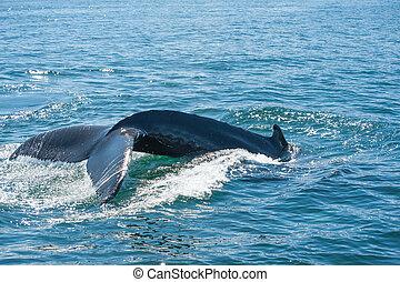 クジラ, せむし, ひれ