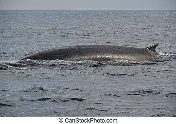 クジラ, ひれ