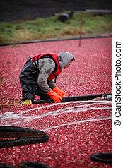 クランベリー, 収穫する