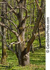 クリ, 大きい, 古い木