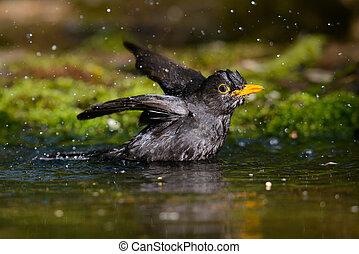 クロウタドリ, 浴室の 取得