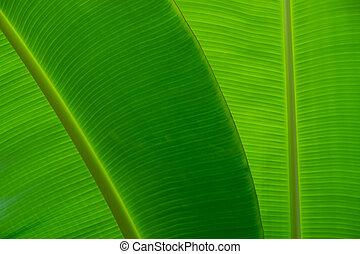 クローズアップ, の, バナナの 葉, 手ざわり, 緑, そして, 新たに