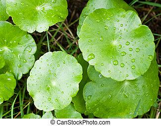 クローズアップ, の, 自然, 新たに, ∥で∥, 緑の葉