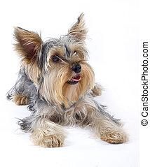 クローズアップ, イメージ, の, 小さい犬, (yorkshire, terrier), 上に, 白