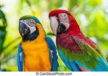 クローズアップ, カラフルである, macaw, 鳥, 顔