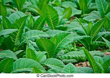 クローズアップ, タイ, 緑のフィールド, タバコ